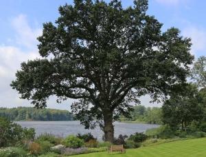 Baumpflege - Große Eiche am See