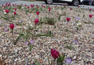 Blumenzwiebeln Gräser Stauden Kiesbeet in Bargteheide
