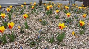 Tulpen Gräser Stauden Bargteheide