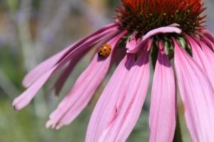 Gartenpflege - Echnincea mit Marienkäfer