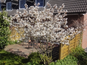 Gartenbepflanzung - Felsenbirne, Amelanchier lamarkii, in Blüte