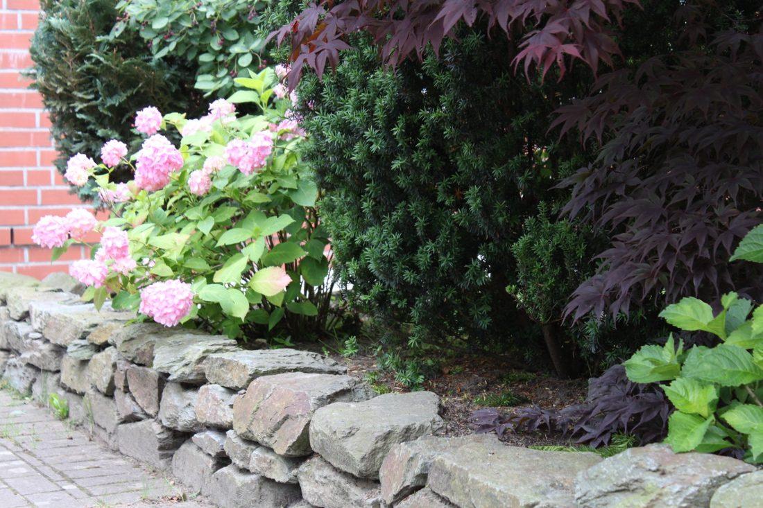Japanischer Ahorn, Eibe und Hortensie auf Gartenamauer