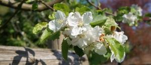 Gartenbepflanzung - Kirschblüte