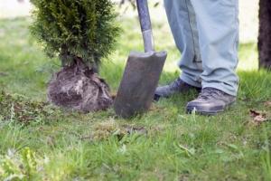 Spaten Pflanzarbeiten Thuja