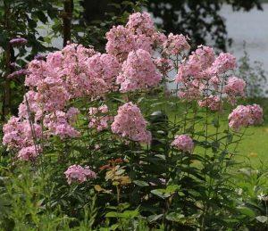 Gartentipps - Rosa Phlox Blüten