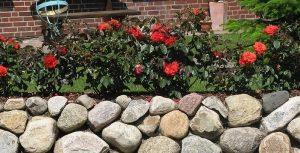 Gartentipps - Rosen auf Natursteinmauer