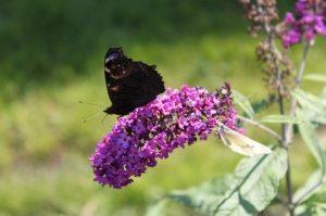 Gartentipps - Sommerflieder mit Schmetterling