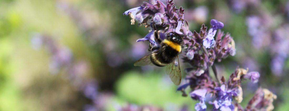 Naturgerechte Gartenbepflanzung - Humel an Lavendel