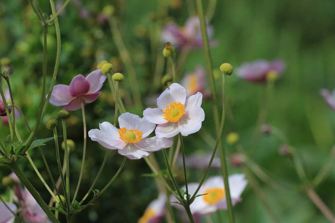 weoße Blüten